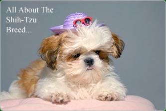 Rochester Shih Tzu Puppies For Sale Shih Tzu Puppy Breeders
